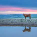 Cow on Sussex downs 02