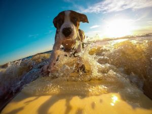 Dog with confidence riding the waves